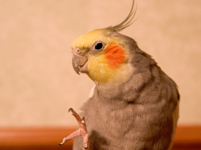 cockatiel-head-shot-2-1310680-1598x1198
