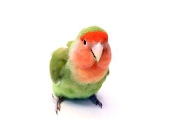 lovebird-1-1365617-639x511