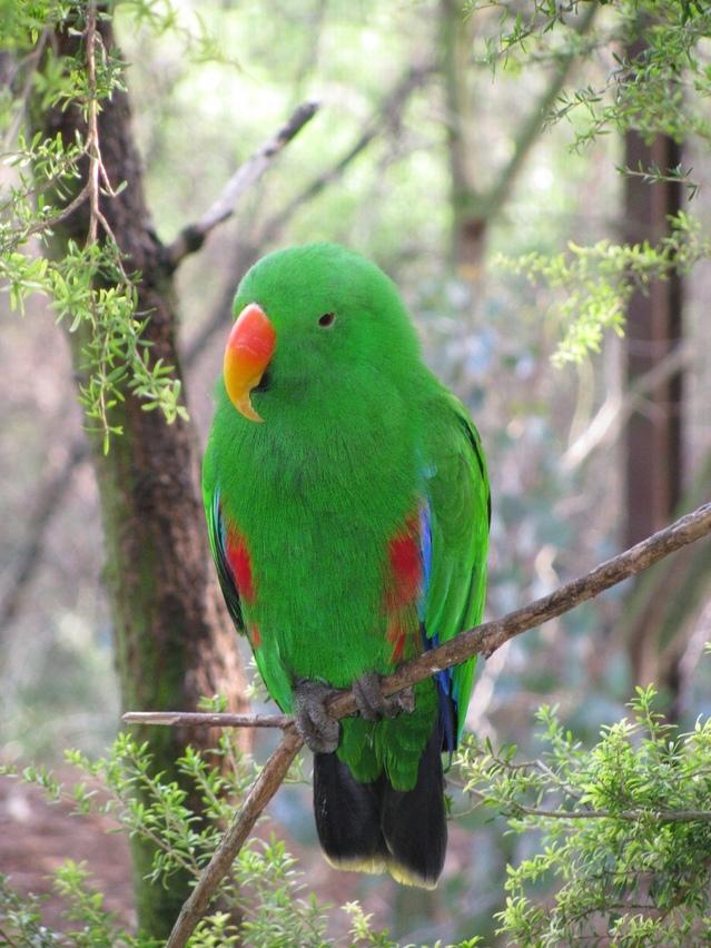 male-eclectus-parrot-1350890-639x852