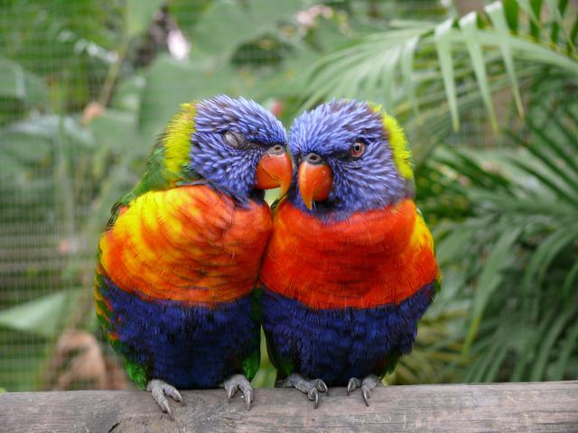 parrots-in-love-1351846-640x480