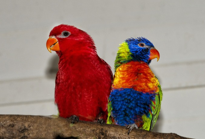 rainbow-lorikeet-638413_1920