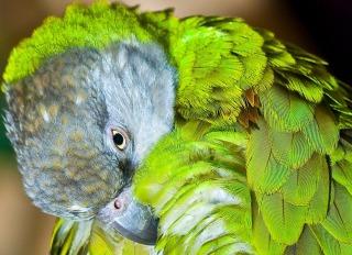 senegal-parrot-1154784_1280